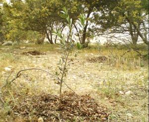Olive Seedling