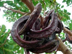Fig. 1: Example of Carob Pods