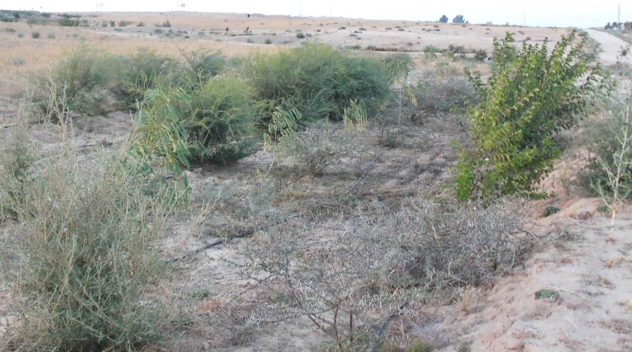 Liman Planted with Acacias in 2013