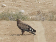 Steppe or Golden Eagle nearby