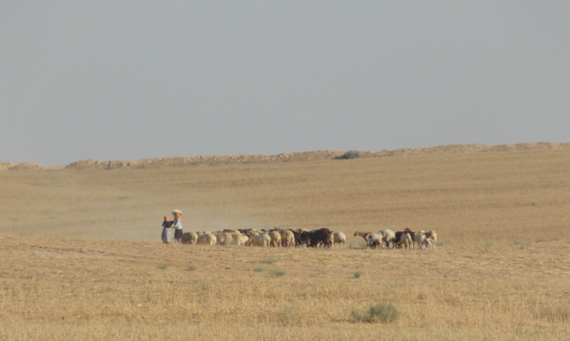 Grazing Lifestock on Dry Winter Wheat
