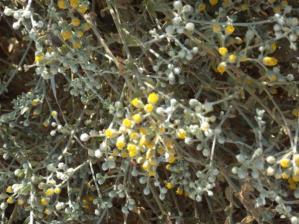 Achillea fragrantissima