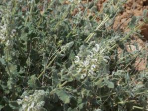 Salvia dominica