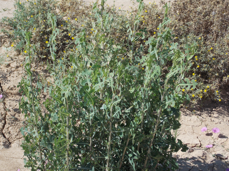 Prickly Lettuce (the closest wild relative of cultivated lettuce)