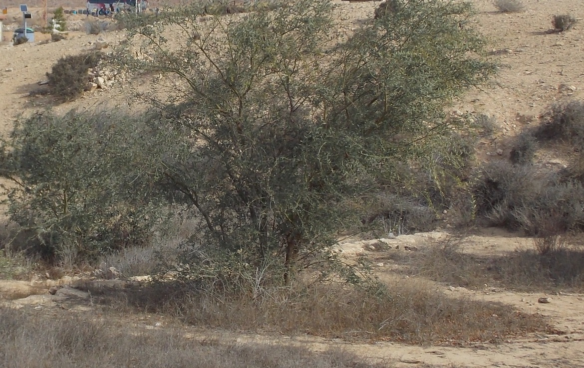 Acacia victoriae with Litter-Induced Fertility Patches