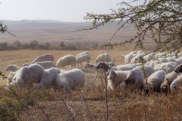 Herd grazing at Project Wadi Attir