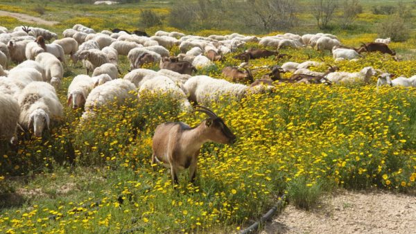 Herds of goats and sheep out grazing in the pasture at Project Wadi Attir