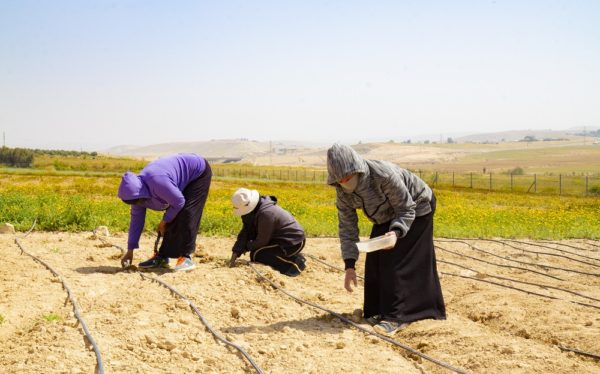 Bedouin women staff at Project Wadi Attir tending to the medicinal plants fields